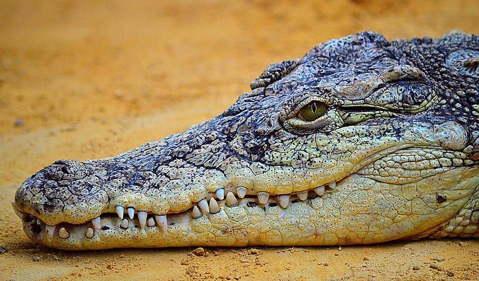 crocodile-875274_960_720